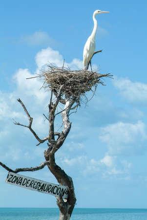 White Gauze on the nest at Isla de los Pajaros in Holbox, Mexico