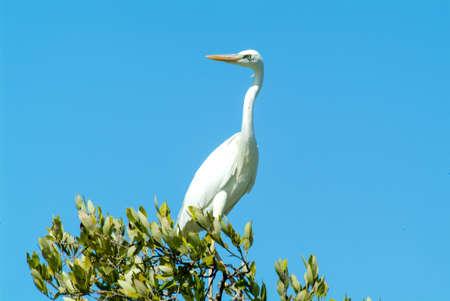 White Gauze on a tree at Isla de los Pajaros on Holbox, Mexico