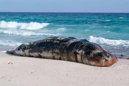 A stranded sperm whale lies dead on the beach of Socotra island, Yemen Stock Photo