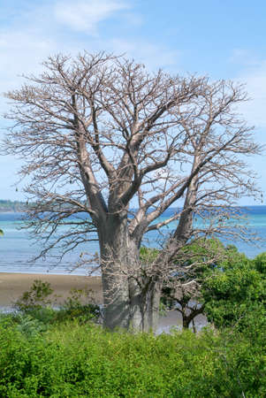 mayotte: Baobab tree on a beach on Mayotte island, France