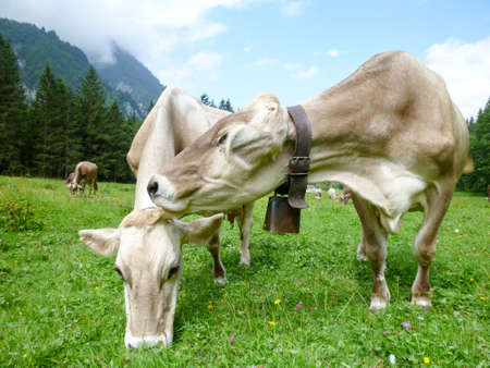 Brown cows in the alpine meadow at Engelberg on Switzerland Stock Photo