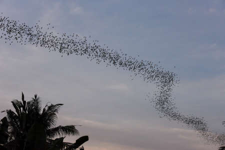 Bats flying in a row coming out of the Phnom Sempeau mountain cave at Battambang on Cambodia