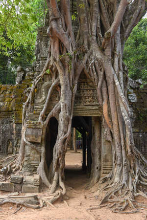 Tropical tree on Ta Som temple at Angkor complex in Siem Reap, Cambodia