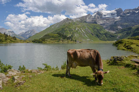 Cow in front of lake Truebsee over Engelberg on the Swiss alps 免版税图像