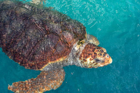 Tortuga nadando en el tanque del Proyecto Tamar en Praia do Forte en Brasil