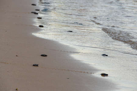 Baby turtles making it's way to the ocean in Brazil