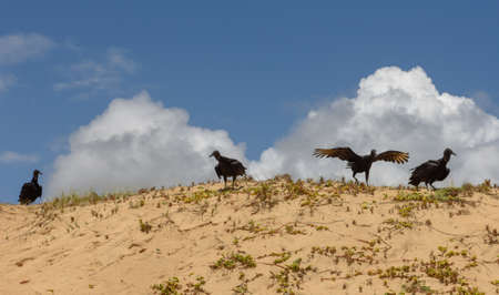Flock of wild griffon vultures resting on the beach of Sauipe on Brazil