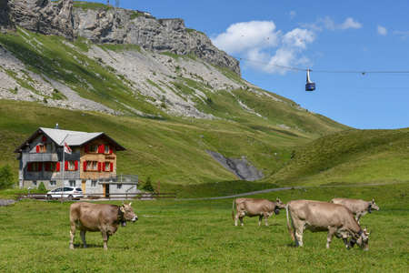Grazing cows at Melchsee-Frutt on the Swiss alps