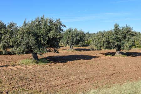 Olive plantation at Sousse on Tunisia