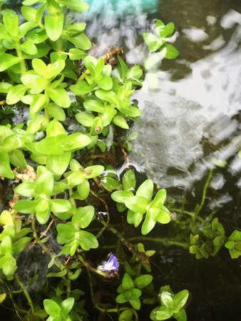 plantas acuaticas: Plantas de agua poco. Foto de archivo