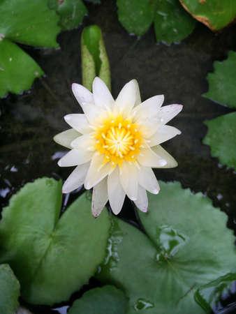 white: Top view white lotus