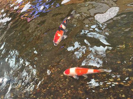 kohaku: Golden Koi fish in the pond Stock Photo