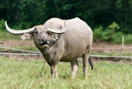 buffalo grass: Thai buffalo on the grass