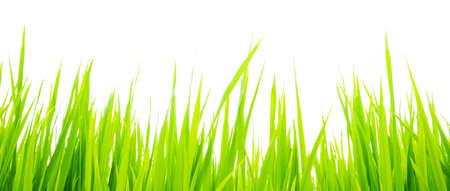 Green grass against white background. Sunlight. photo