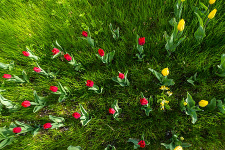 Top view of many tulips in the park on the grass. The photo was taken in natural daylight.