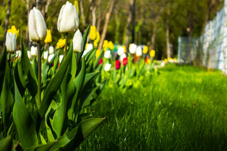 Side view of many white tulips in the park on the grass. The photo was taken in natural daylight. Blurry background