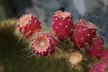 Opuntia ficus indica Imagens