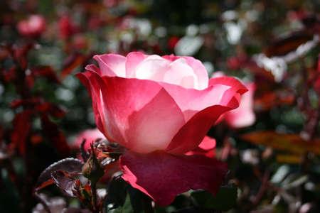 Rose rouge et blanc Banque d'images - 19023068