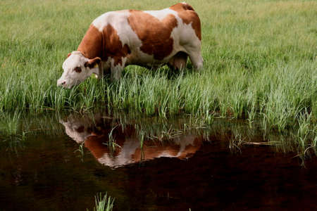 a paddle cow is eating in mountain photo