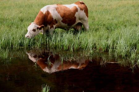 Une vache de paddle mange en montagne Banque d'images - 31460749