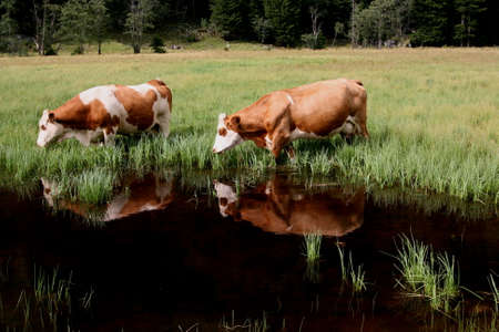 cows are eating nea a puddle in mountain photo