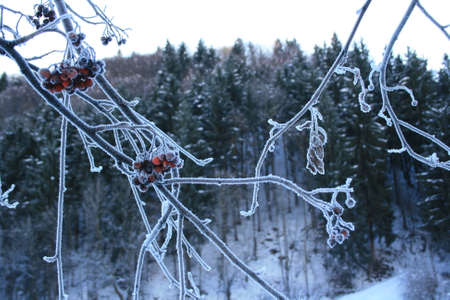 bough: frozen bough in winter