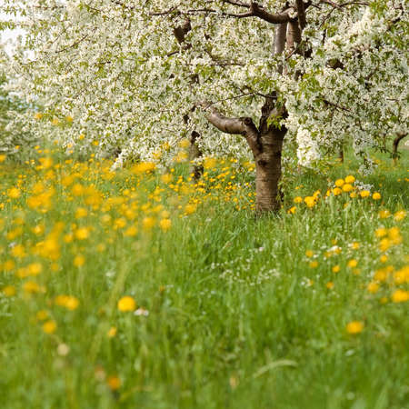 flowering fruit trees and meadow in spring photo