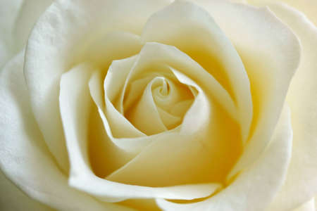 white rose as a soft and tender close up Stock Photo