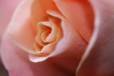 pink rose as a soft close up Stock Photo - 8865616