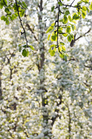 Flowering branch of an apple tree in the soft sunlight against a blurry background. Stock Photo - 12342857