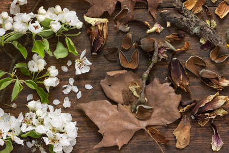 transience: Fresh branches of an apple tree with white flowers and fresh green leaves with brown autumn leaves on wooden background as a studio close up and symbolic image for time and transience Stock Photo