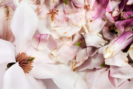 transience: Fresh and withered magnolia flowers on white background as studio close up and symbolic image for life, death and transience Stock Photo