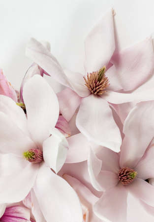 love image: Fresh and open magnolia flowers on white background as studio close up and symbolic image for love and purity Stock Photo