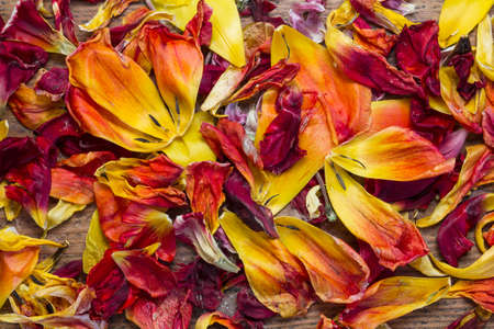 Fresh and withered tulip petals from red and yellow flowers as a top view background image