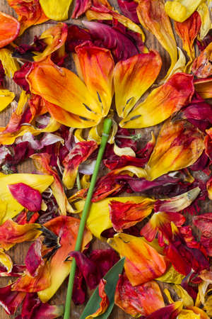dispersed: Fresh and withered tulip petals of red and yellow flowers in top view