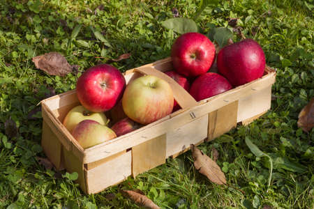 Various fresh organic apples in a wooden basket as a natural still life for healthy food as a symbolic image for summer, autumn and thanksgiving Stock Photo