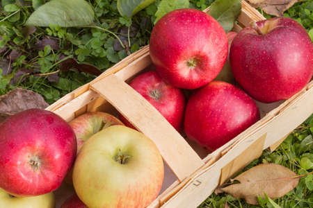vida natural: manzanas orgánicas orgánicos dispuestos en una cesta de madera como una naturaleza muerta naturales para la alimentación sana y vegetariana Foto de archivo