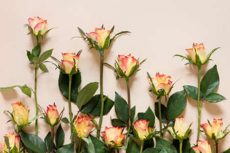 Blooming roses arranged in a row on a background of yellowed paper, tender top view image