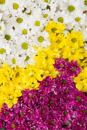 Chrysanthemum flowers arranged as a colorful natural background image with white, yellow and purple blossoms