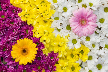 Yin yang with chrysanthemum and gerbera flowers arranged as a colorful natural background image with white, yellow and pink blossoms