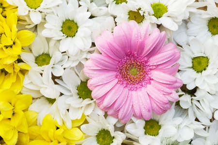 White and yellow chrysanthemum and pink gerbera