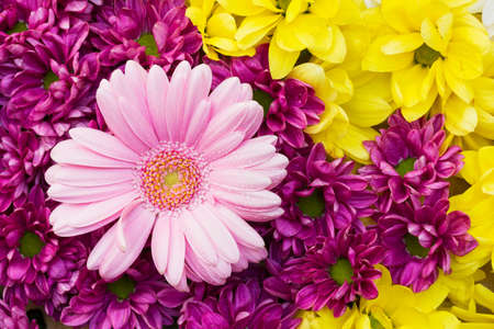 Chrysanthemums and gerbera - colorful flowers as a background with pink, yellow and purple blossoms
