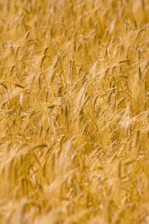 wheat field Stock Photo - 3224843