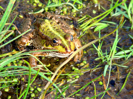 perfectly: The big frog sits under a grass near a stream Stock Photo