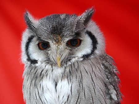 small owl photo