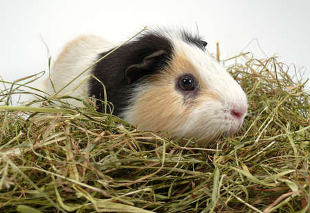 Guinea pig photo