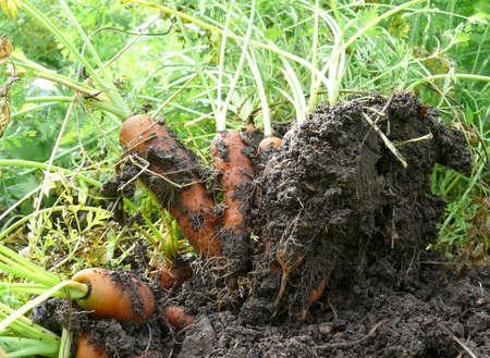 constitutes: Carrots