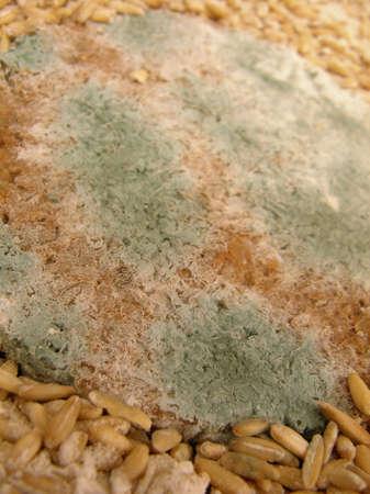bread mold: mold fungus on bread
