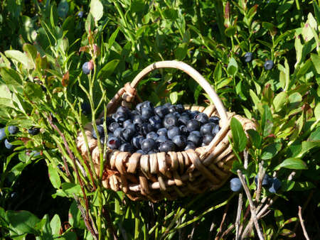 blue berries collect  photo