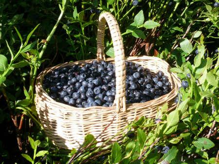 fresh bilberries photo